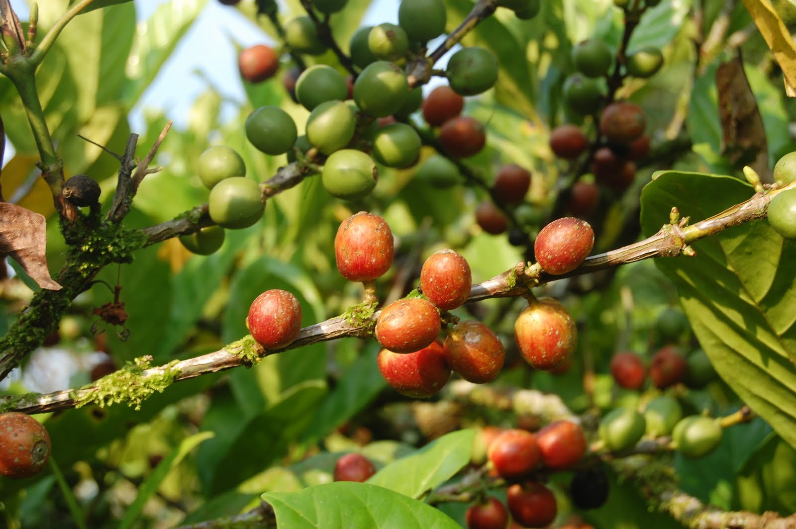 Coffee as a Superfood