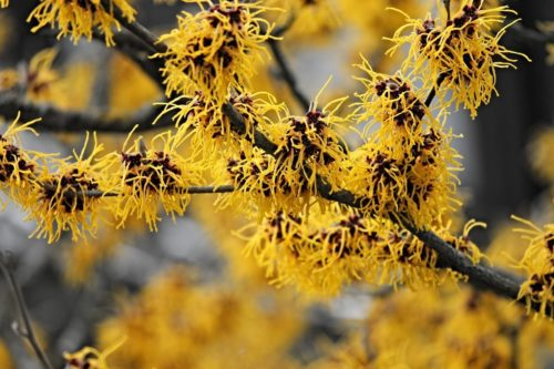 Witch Hazel: the Powerful, Natural Anti-Inflammatory