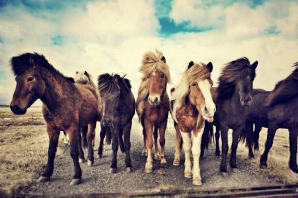 Breed Spotlight: Icelandic Horses