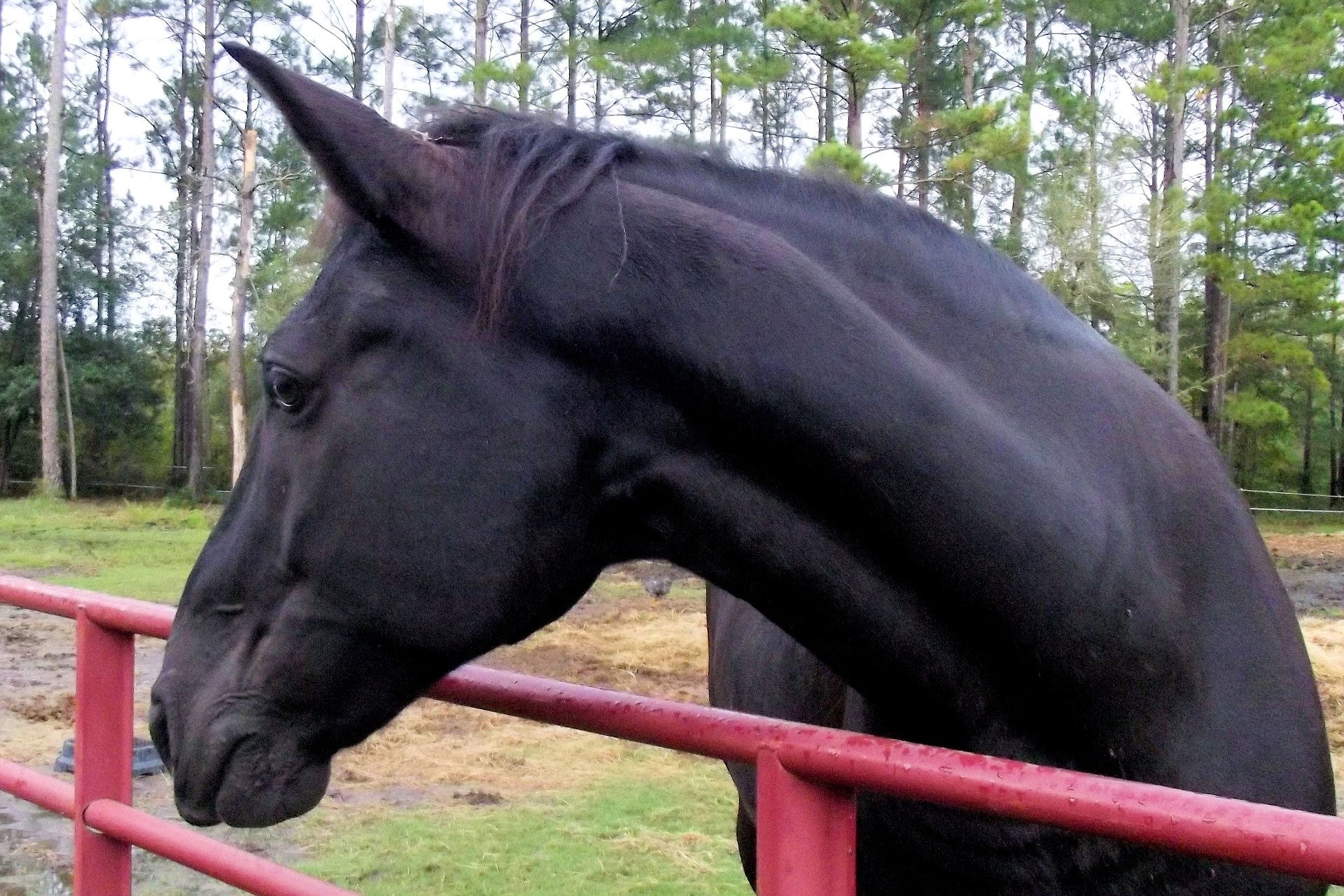 Breed Spotlight: Tennessee Walking Horse