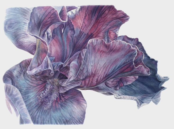 Purple Iris watercolor painting by Leslie Montana