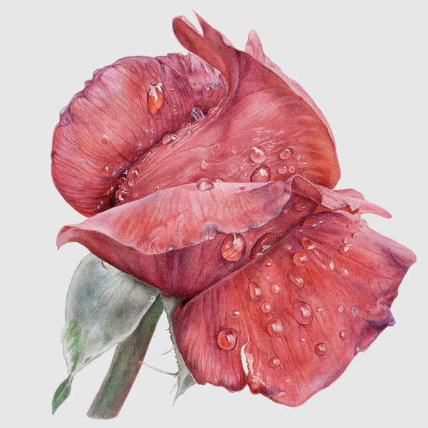 Reddest Rose in Rain watercolor by Leslie Montana