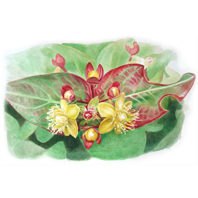Twin Leaves - St Johns Wort watercolor painting by Leslie Montana