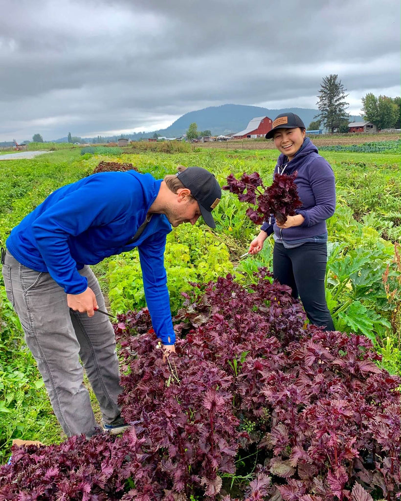 Josh and Tomo pick beautiful purple shiso to be in a future batch of shrub.