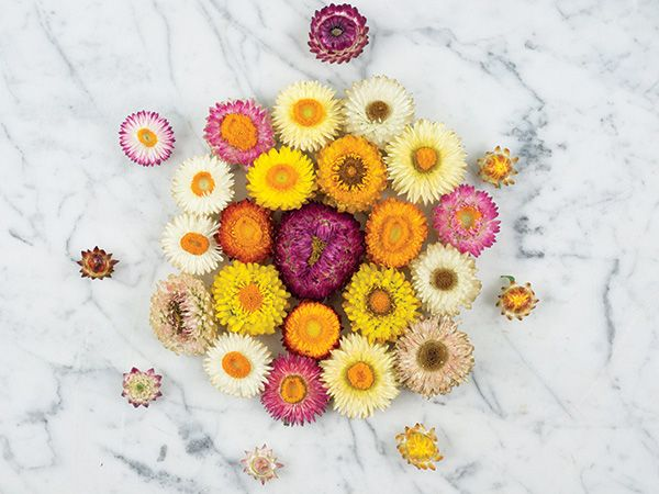 Baker Creek Tall Double Bloom Strawflower Seed Mix