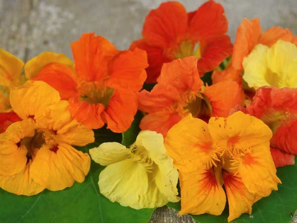 Baker Creek Dwarf Jewel Nasturtium Seed Mix