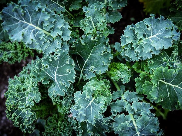 Baker Creek Blue Curled Scotch Kale Seed