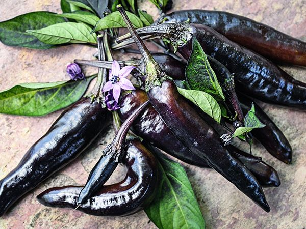 Baker Creek Murasaki Purple Pepper Seed