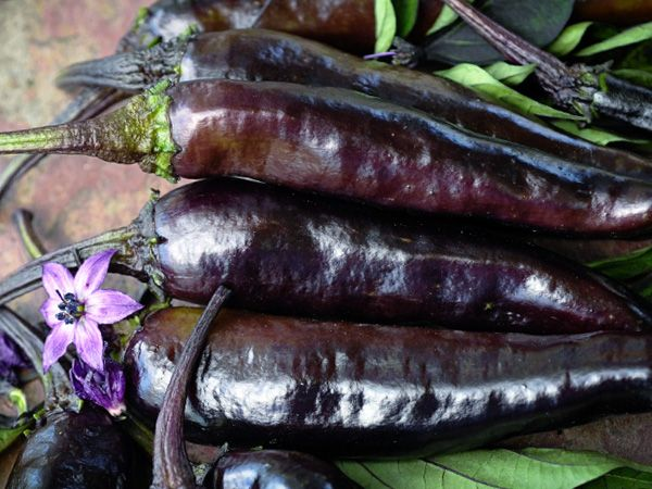 Baker Creek Murasaki Purple Pepper Seeds