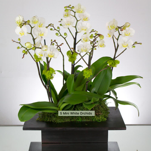 5 Mini Orchid Plants