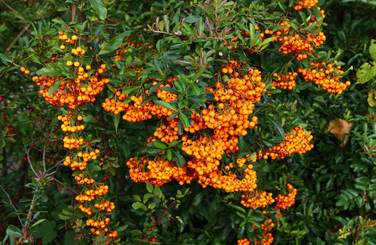 what-is-the-best-way-to-take-sea-buckthorn