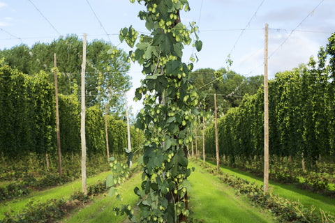 Hop growing in a field