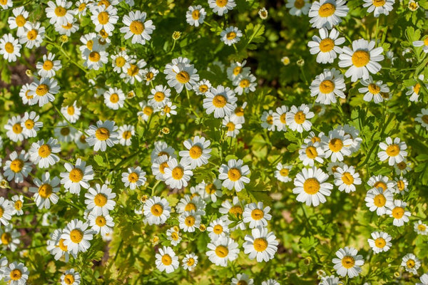 Feverfew Seeds (Organic & Wild Crafted)