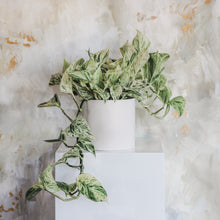 Load image into Gallery viewer, Pothos - Marble Queen