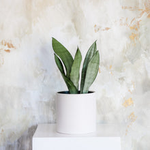 Load image into Gallery viewer, Sansevieria - Moonshine