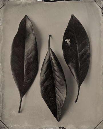 Magnolia Leaves, 2018