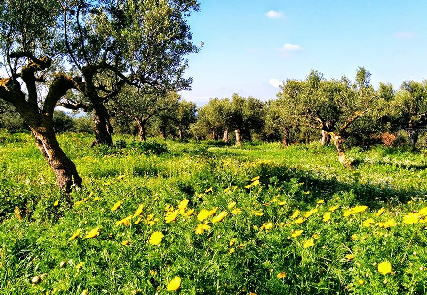 Argali's organic olive orchards in Gargalianoi bristling with colour and life at the onset of spring.