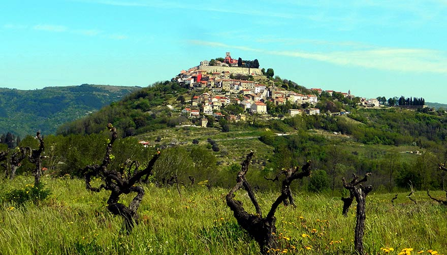 Old Malvazija bush vines staring at the historic hilltop of Motovun in Istria where the Alps and the Mediterranean meet.