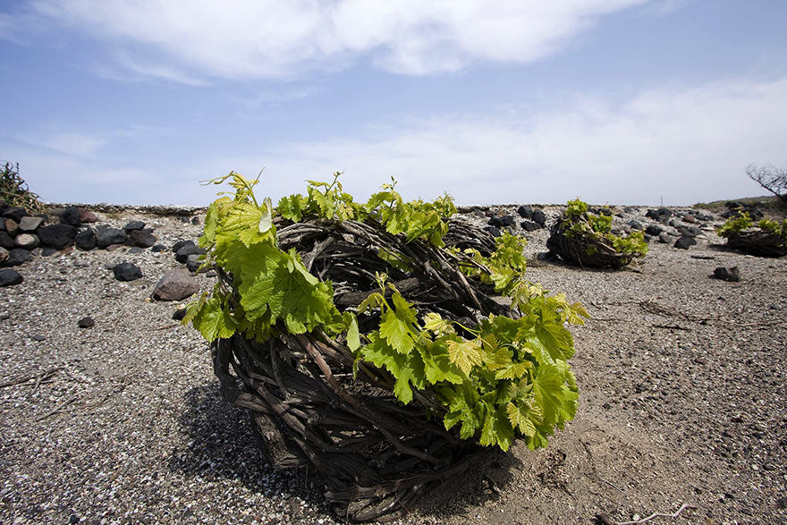 Basket-shaped Assyrtiko vines in Santorini. Some have arguably centuries-old roots system.