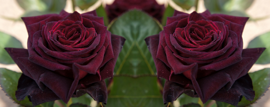 rose rouge fonce signification