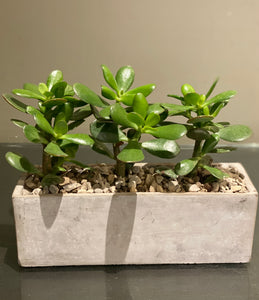 P79 - Jade Succulents in Rectangular Concrete Planter - Flowerplustoronto