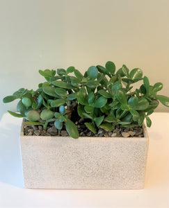 P44 - Jade Plants - Flowerplustoronto
