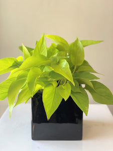 P34 - Neon Pothos in Black Cube - Flowerplustoronto