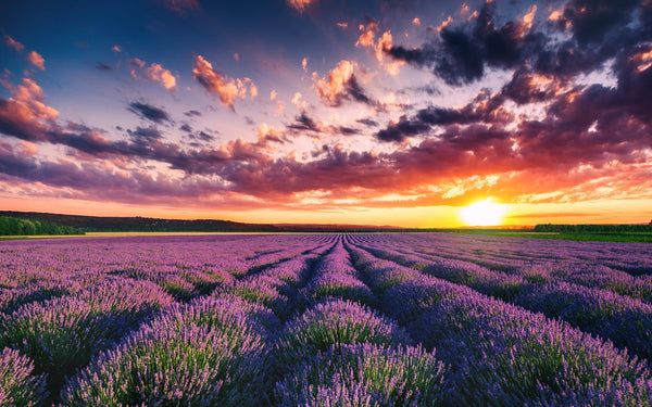 Lavender Field for SIMON & GARFUNKEL - Sound of silence