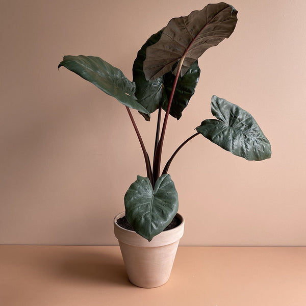 Yucatan Princess Elephant Ear (M)
