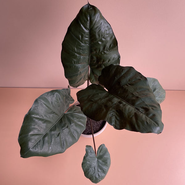 Alocasia 'Yucatan Princess' - Elephant Ear (M)