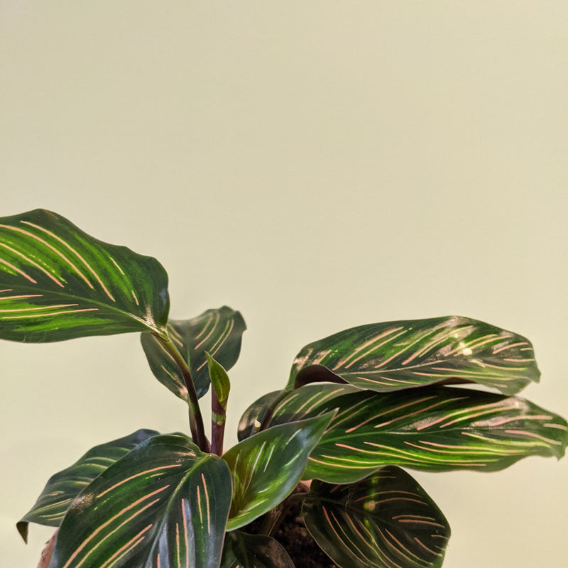 Calathea 'Beauty Star' (S)