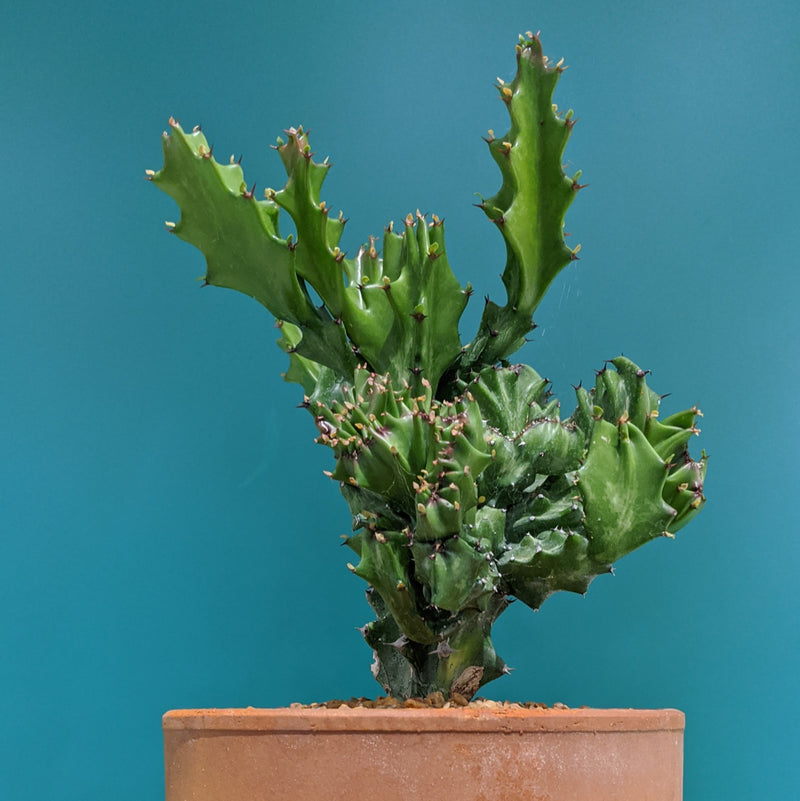 Crested Euphorbia - one off (M)