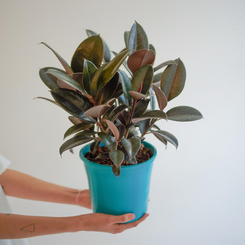 Burgundy Rubber Plant (M)