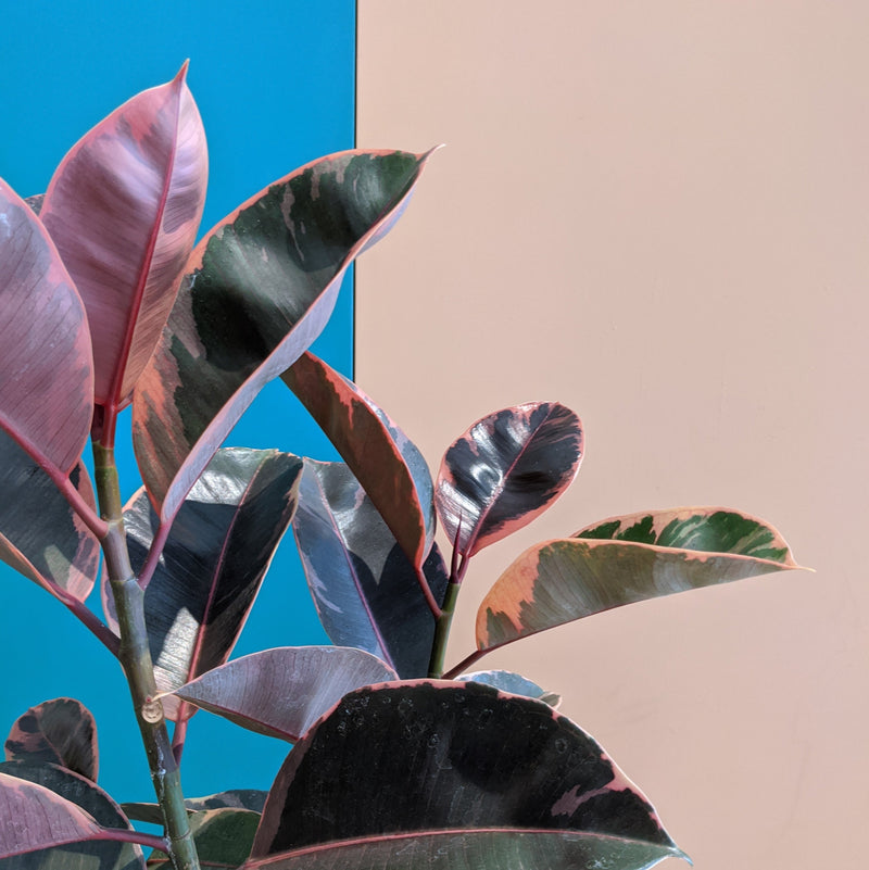 Ficus 'Ruby' - Variegated Rubber Plant (M)