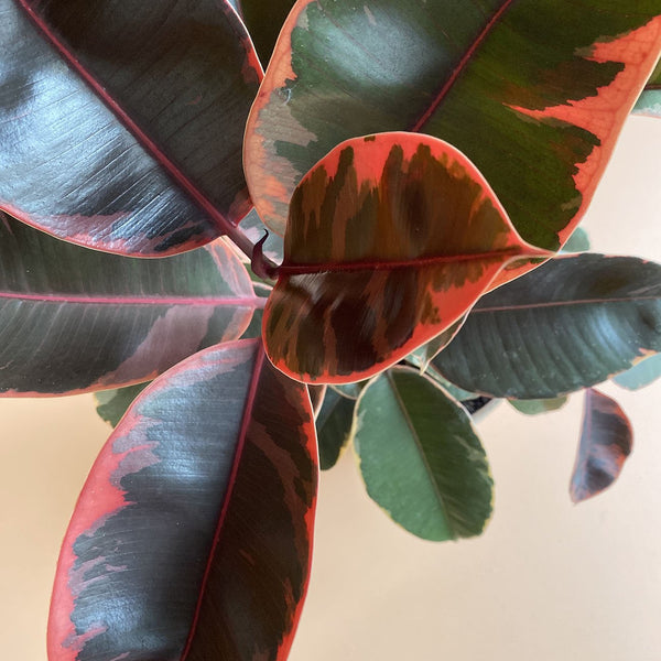 Variegated Rubber Plant 'Ruby' (M)