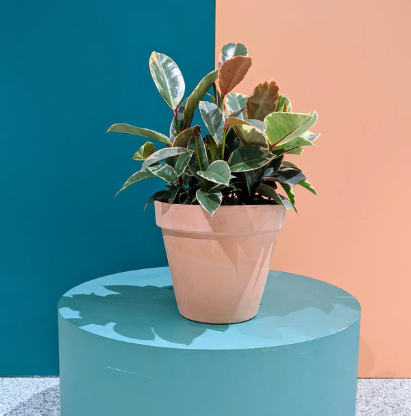 Ficus 'Tineke' - Variegated Rubber Plant (M)