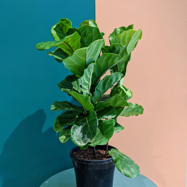 Ficus lyrata - Fiddle Leaf Fig (L)