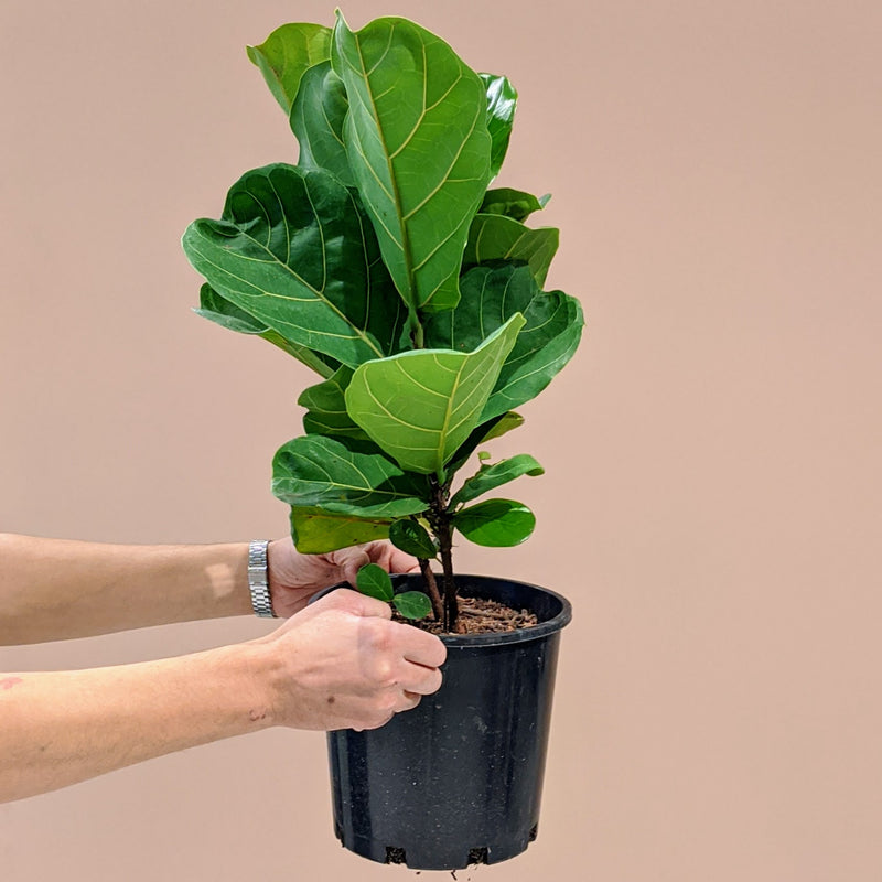 Ficus lyrata - Fiddle Leaf Fig (M)
