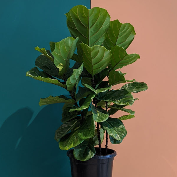 Ficus lyrata - Fiddle Leaf Fig (XL)