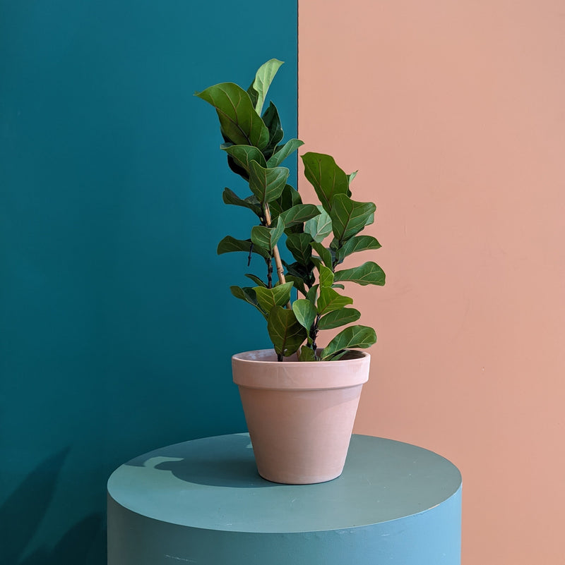Dwarf Fiddle Leaf Fig - Bambino (M)