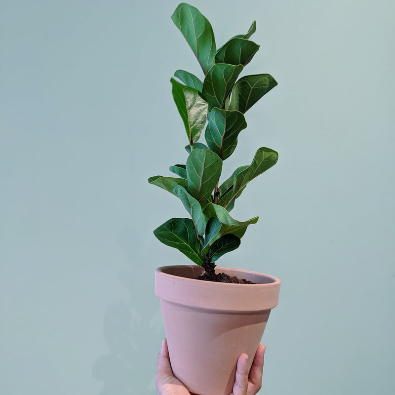 Dwarf Fiddle Leaf Fig - Bambino (S)