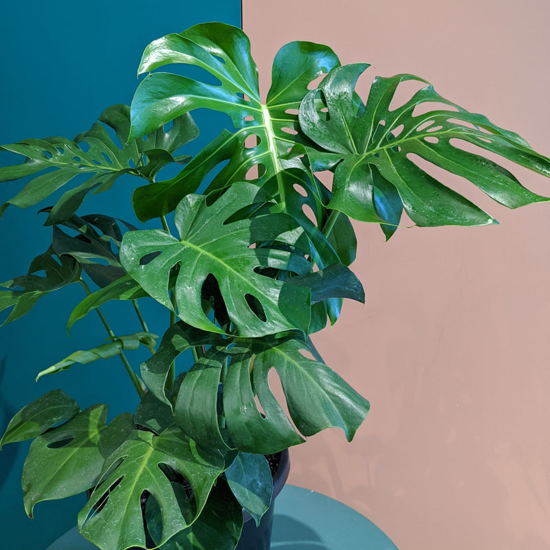 Monstera deliciosa - Fruit Salad Plant (XL)