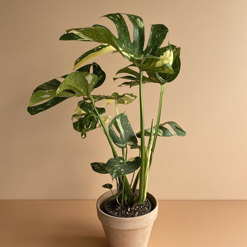 Thai Constellation Monstera (L)