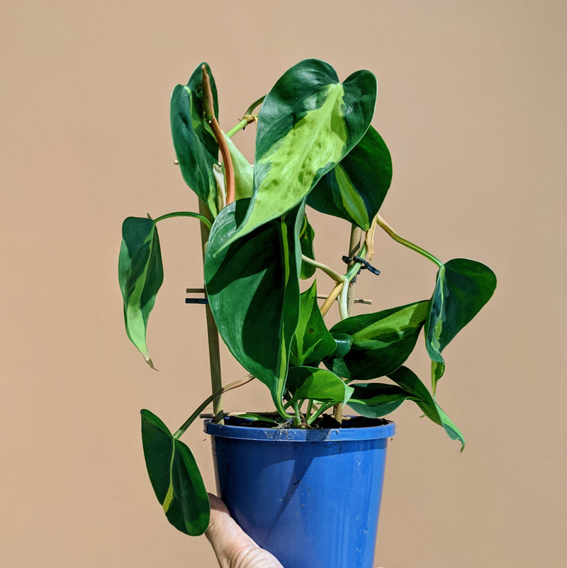 Philodendron 'Brasil' (S)