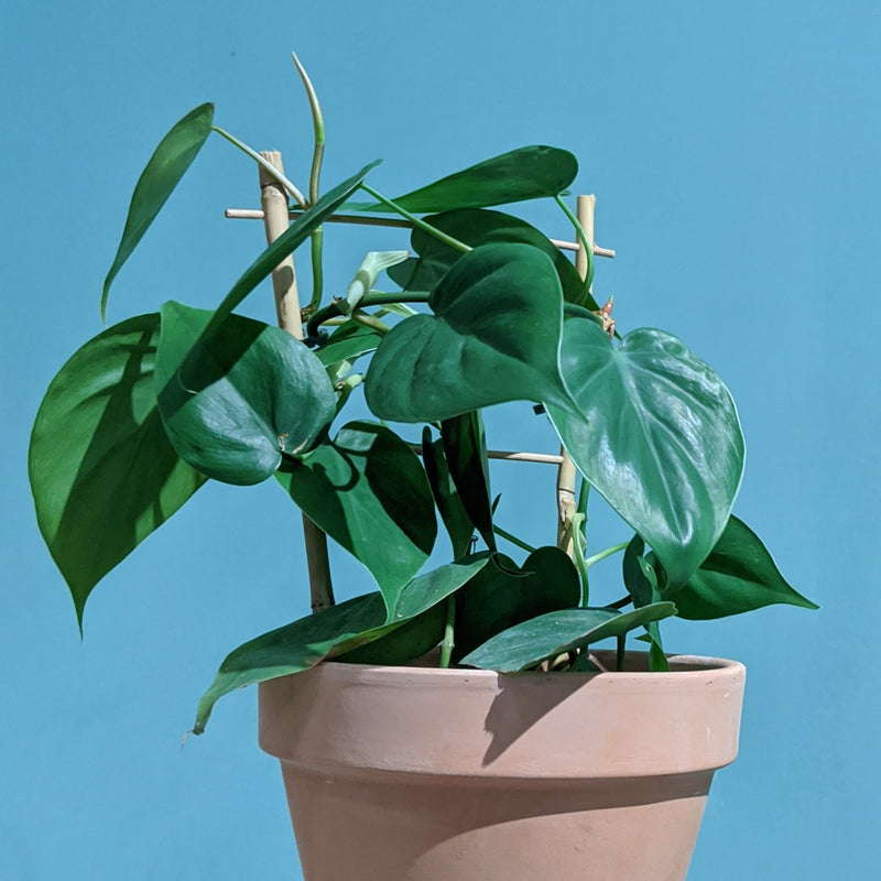 Heart Leaf Philodendron - Cordatum (S)