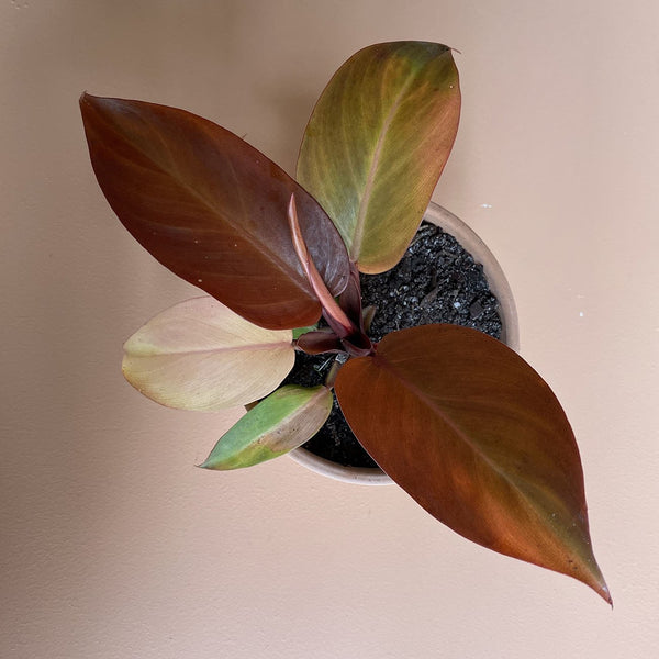 Philodendron 'Prince of Orange' (S)