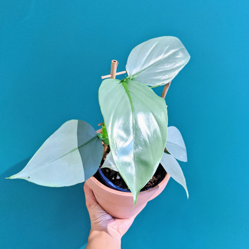 Philodendron Silver Sword (S)