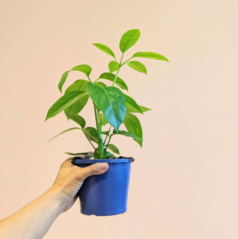 Schefflera Amate - Umbrella Tree (S)