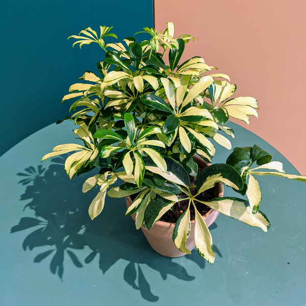 Variegated Umbrella Plant (S)