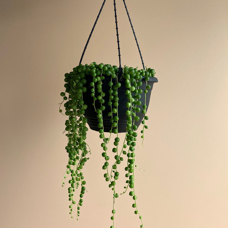 String Of Pearls (Hanging Basket - M)
